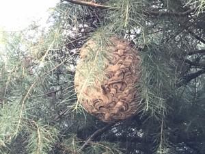 スズメバチの巣 駆除